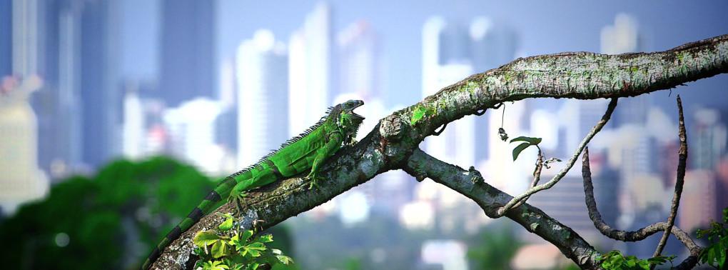 Iguanas a la carte